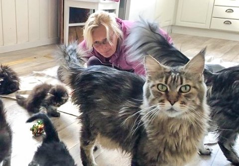 POPULÆRE KATTER: Randi Ødegård er oppdretter av Maine Coon-katter og har fått merke hvor populært det er å skaffe seg dyr i koronakrisen.
