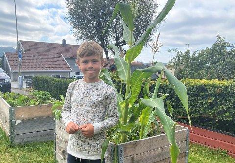 Rasmus Frafjord Idland plukket de første maiskolbene fra felleshagen forrige uke, og gleder seg til det er mer som blir modent med tiden.