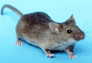 LURER SEG INN: Du bør sjekke huset eller hytta for å unngå for mange mus.