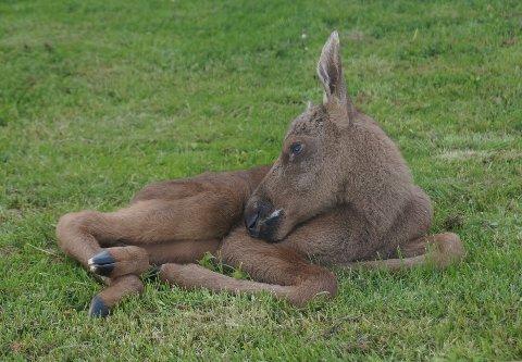 Nyfødte Juni ligger og slapper av i gresset på Glittersjå etter fødselen.