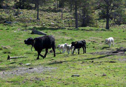 STOLT MOR: Dexterkua kommer stolt gående med sine tre små og en kalv som er lekekameraten.