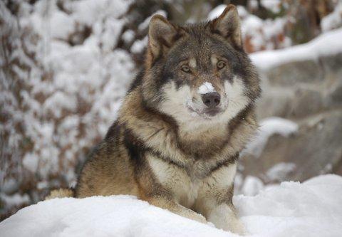 ULV: InFact Norge AS har på oppdrag fra Indre Akershus Blad spurt innbyggerne i Aurskog-Høland og Rømskog om deres syn på ulv.FOTO: anb aRKIV