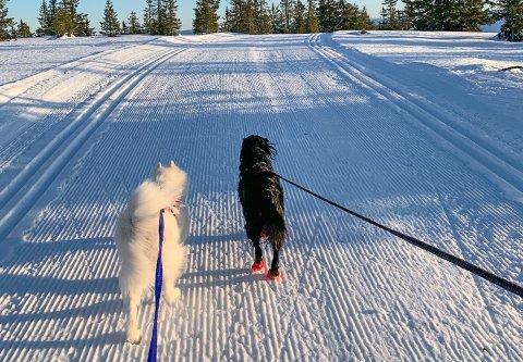NYE REGLER: I perioder med snø og oppkjørte spor skal hunder holdes i bånd i de mest brukte skiløypene på Budor, ifølge forslaget til lokal forskrift.