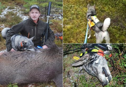 MISTET MILO: Tom Roger Østvang fra Trysil mistet elghunden sin Milo i forbindelse med en elgprøve denne uka. Statens naturoppsyn bekrefter at det er ulv som har tatt hunden.