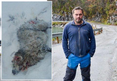 Tor Ivan Johansen mistet to sauer til gaupa lørdag, men det synes han går fint: – Jeg klarer meg godt selv om den skulle ta et par-tre sauer i løpet av en vinter.