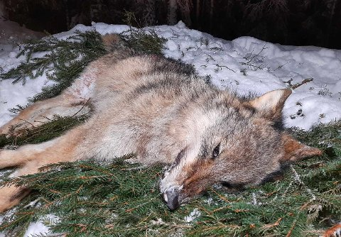 Ei ung ulvetispe ble felt i Aurskog-reviret tirsdag. Foto: Privat