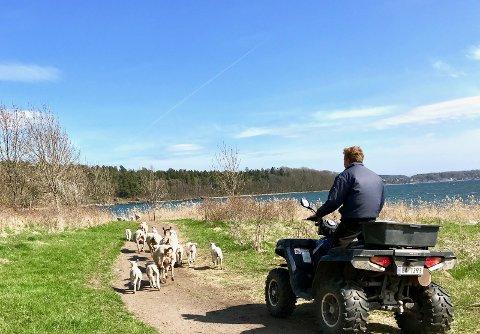PÅ RØMMEN: Et 30-talls sauer var på rømmen på Alby søndag ettermiddag.