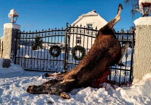 - Dette er det styggeste jeg har sett, sier fallviltvakt Per Egge i Søndre Land om elgkua som fredag morgen spiddet seg selv på en smijernsport i Lausgarda.