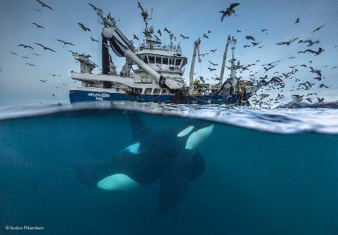 Audun Rikardsen stiller med flere bilder på utstillingen, blant annet dette, «Splitting the catch».