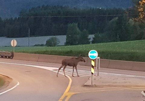 HERADSBYGDA: Carina Myrvang var ute og kjørte da elgen dukket opp midt på E16 ved Heradsbygda.