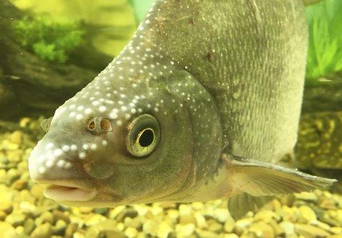 Når gytetida nærmer seg får hannene til karpefiskene tydelige gytevorter på hodet, som denne brasma. Hudcellene eser opp og fortykkes, samtidig som de dekkes av en spiss hatt av hornlignede stoffet keratin. Gytehanner med mange gytevorter er ofte dominante. Foto: Rune Fjellvang