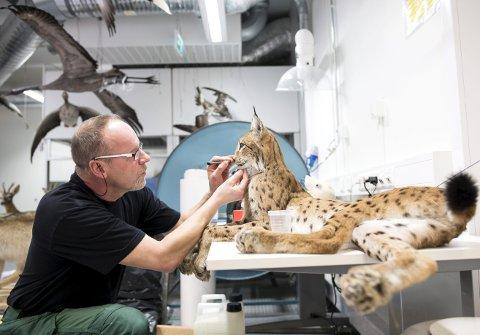 Taksidermist Ari Olavi Puolakoski (58) har permisjon fra Naturhistorisk museum i Helsinki, for å klargjøre over 100 dyr for nyåpning av Naturhistorisk museum på Nygårdshøyden. – Det tar lang tid før jeg sier meg ferdig og fornøyd, for det er alltid noe jeg føler jeg kan gjøre bedre, sier Puolakoski og retter litt på en gaupe.