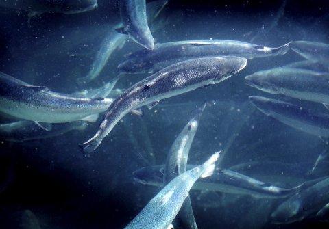 OPPDRETT: Oppdrettslaks er en viktig eksportnæring for Norge. Fiskeriministeren ønsker satsing på oppdrett av flere fiskearter. Foto: Gorm Kallestad/Scanpix