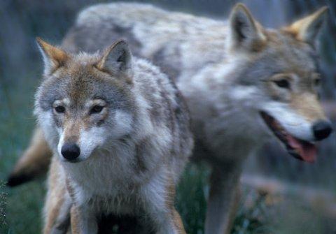Rovviltnemndene i Hedmark og Akershus har vedtatt å åpne for lisensjakt på 24 ulver innenfor ulvesona til vinteren. Foto: Per Løchen