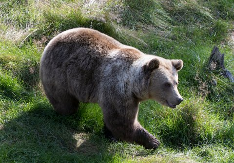 Hittil i år er 15 bjørner skutt. Denne er fra Namsskogan familiepark. Foto: Berit Roald / NTB scanpix