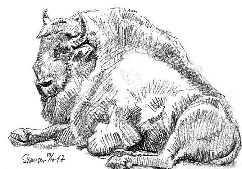 Visenten er nært beslektet med amerikansk bison, og har som denne vendt tilbake fra utryddelsens rand. Den kan komme opp i over tusen kilo levendevekt. Skisse: Hallgeir B. Skjelstad
