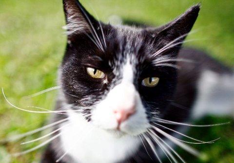 Katter bør sjekkes av veterinær en gang i året, mener Norske Rasekattklubbers Riksforbund . Foto: NTB scanpix/ANB