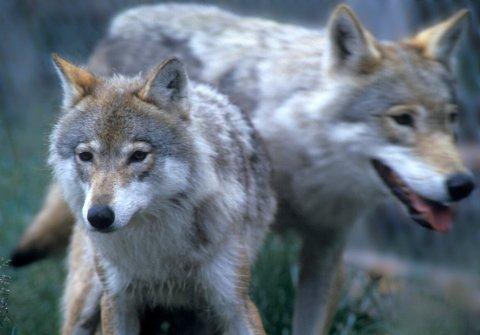 ULV: De hører hjemme i norsk natur. Disse høre hjemme bak gjerdene på Langedrag. Foto Per Løchen / SCANPIX .