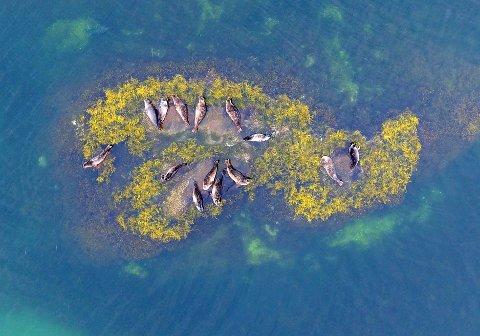 HVA SPISER DISSE? Det har havforskningsinstituttet nå forsket på, og svaret vil overraske de som mener at selen har radert torsken fra våre breddegrader.