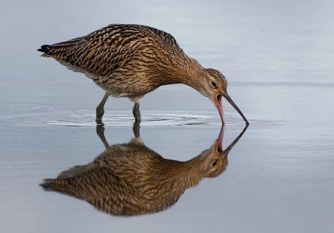 Storspova er en typisk våtmarksfugl med sitt lange, bøyde nebb.