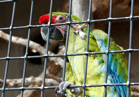 DVERGARA: Kiwi er av typen dvergara rødbukara og er noe mindre enn papegøyen som er avbildet.  Foto: Terje Pedersen / NTB scanpix
