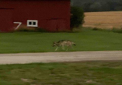NÆRGÅENDE: Lars Nilsen synes ulven begynner å bli vel nærgående når den kommer inn på tunet og så på han på mindre enn ti meters avstand. Foto: Privat