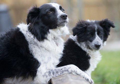 GODT LIKT: Border collie var fjorårets klart mest registrerte hund i Norge.
