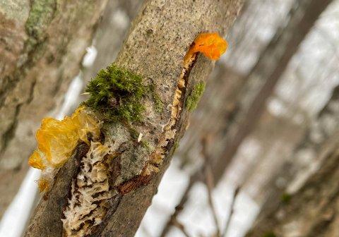 BEGYNTE Å LURE: Det var langs Kyststien, mellom Holmejordet og Lillevik, at treet med den gule «pynten» dukket opp.