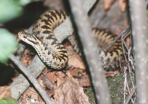 HOGGORM: Vi har én giftig slangeart i Norge, nemlig hoggorm.