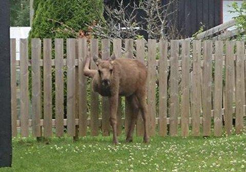 Hjelpeløs: Med høyre forbein låst mellom to staver i gjerdet, hadde elgkalven ingen mulighet til å komme løs uten hjelp. Foto: Hilde K. Gundersen