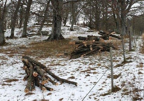 RESTENE: Nå ligger stammen til sommereika og de største greinene oppkappet på fylkeskommunal grunn sør for Melsom skole, i et område med vernet eikeskog.