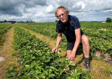 USIKKER SESONG: Halfdan Sangnes produserer vanligvis jordbær på mellom 120 og 130 mål med jorder på Bøverbru. I år kan det bli snakk om mindre produksjon, på grunn av mangel på utenlandsk arbeidskraft.