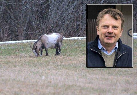 ØNSKER IKKE AVLIVNING: I rundt sju år har geita på bilde levd et tilbaketrukket liv i skogene ved Roel i Inderøy.  Tor Wibe (innfelt) har vokst opp på gården som er en av grunneierne. Nå ber han om at geita må få leve.