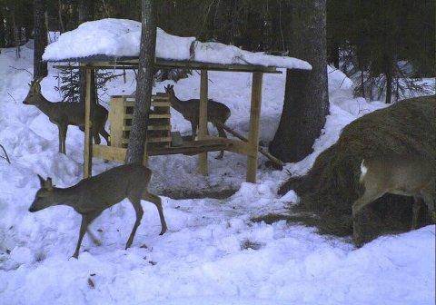 Får mat: Denne fôringsplassen tilhører Carolina Moland og Hans Ingvar Askeland. Dette bildet er tatt med viltkamera en vinter tidligere, men nå er de i gang med å legge ut mat til rådyrene igjen.