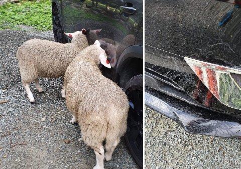En av bilene som sauene gikk løs på fikk riper i lakken.