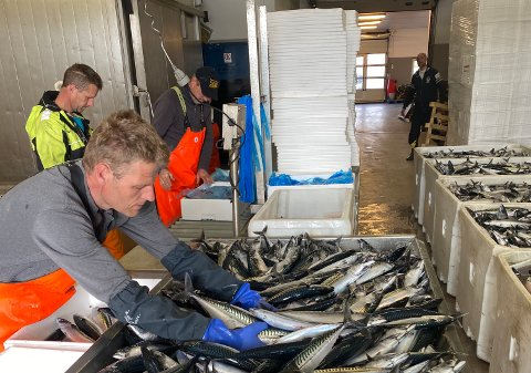Rekord: Den siste måneden har fiskemottaket på Bru tatt i mot og pakket 90 tonn makrell. I forgrunnen Bernhard Idsø, som har levert makrell.