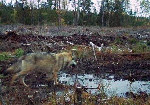 Enebakk kommune har over flere år fått penger for å dempe konfliktnivået der hvor denne krabaten ferdes.