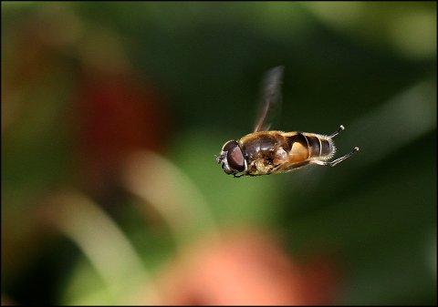 Blomsterfluer kan, i motsetning til vepser, stå stille i lufta slik denne hannen av liten droneflue - Eristalis arbustorum, demonstrerer.