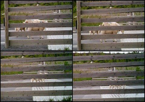 Viltkameraet til Statens vegvesen viser tydelig en søye med lam som går over rista med 10.000 volt.