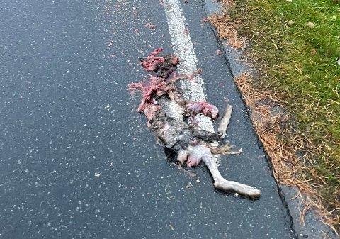 PÅKJØRT: Dette dyret ble funnet ihjelkjørt langs Gamleveien i Kongsberg fredag morgen.