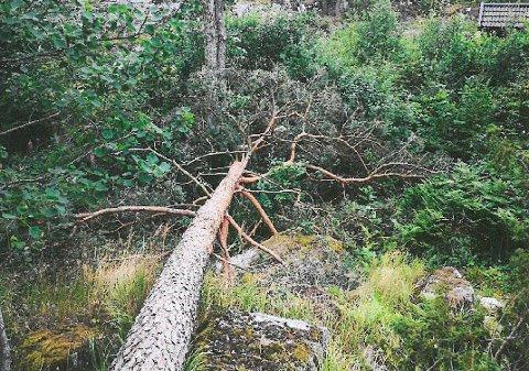 FELTE 14 TRÆR: Hyttenaboen felte totalt 14 trær på ekteparets hytteeiendom.