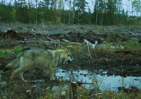 Hobølreviret: En ulv i  Hobølreviret, som ble fanget opp av et rovviltkamera.