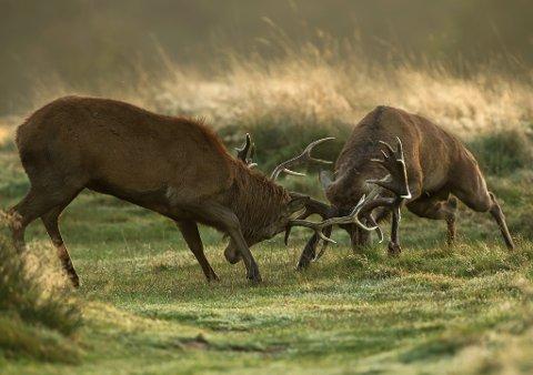 Hjortebukkar i kamp.