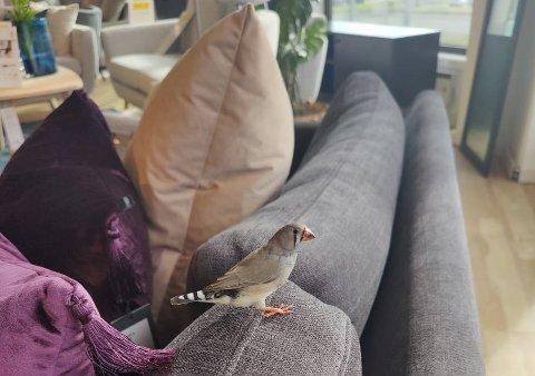 Inne på Skeidar fant finken en myk sofa å hvile på.