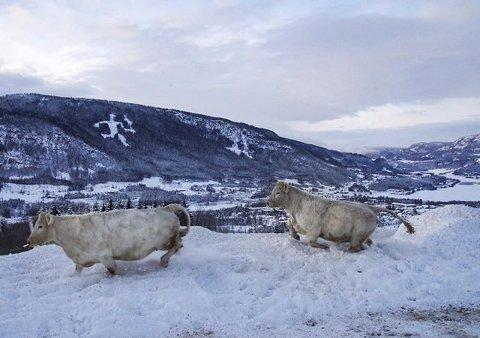 VINNERBILDET: Kua først og oksen etter i fullt firsprang i snøen. Foto: Emmy Egidius Austvik