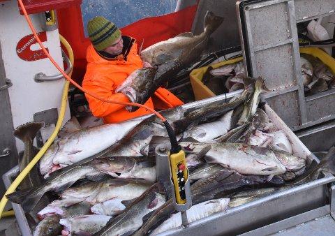 STOR VERDI: Fiskerne i Lofoten har til nå i levert skrei for 860 millioner kroner.
