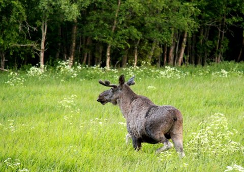 FORTSATT JAKT: Noen jaktlag har fortsatt elg å felle i distriktet.