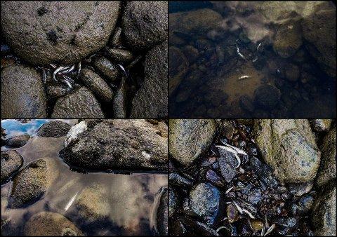 Fiskeynglene klarte ikke å svømme bort da vannstanden sank mye på kort tid onsdag 10. juli, rett ved Hunderfossen kraftverk.