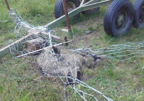 DØD: Slik ble sauen funnet etter noen timer sittende fast i gjerdet.