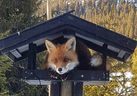 Sulten rev: Denne lure sjarmøren forskynte seg av fuglebrettet til Toril Mork Viken forrige helg.